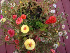 portulaca close-up